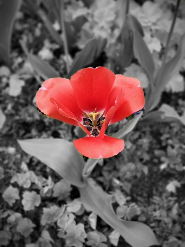 Red flower popping against a greyscale background